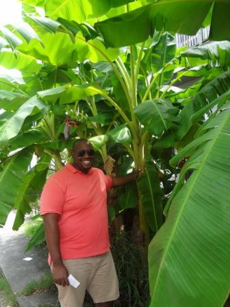 Banana plant1